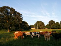 Sunset over our cottages and cattle grazing our pasture land