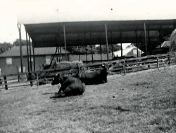 Rigsby Yard Cattle 1947