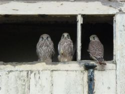 Rigsby Kestrel young