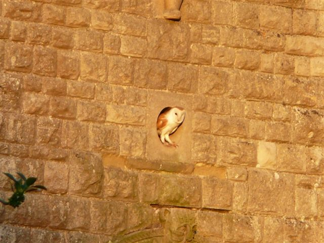 Barn Owl leaving church
