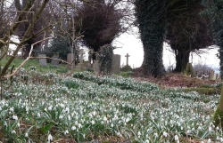 Rigsby St James Snowdrops in grave yard