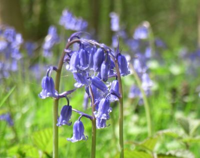 Bluebell (Hyacynthoides non-scriptus)
