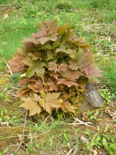Sycamore regrowth from cut stump (Acer pseudoplatanus)