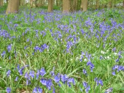 Bluebells in Rigsby Wood