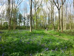 Walking through Bluebells in Rigsby Wood