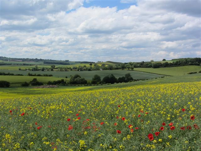 Fields of gold - a common sight in the Wolds