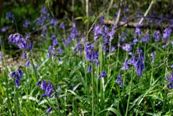 Peter-Wood-Bluebells-Rigsby-Wood-4