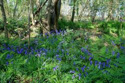 Peter-Wood-Bluebells-Rigsby-Wood-5